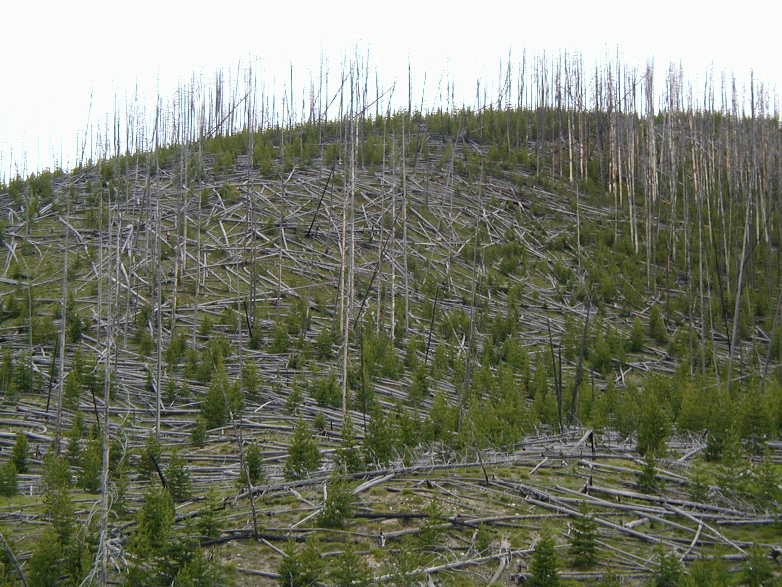 Effects of 1988 Fire - Nature's Pick-Up Stix