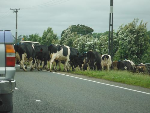 Cows crossing State Highway 3, stopping traffic.