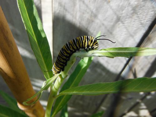 Big caterpillar munching.
