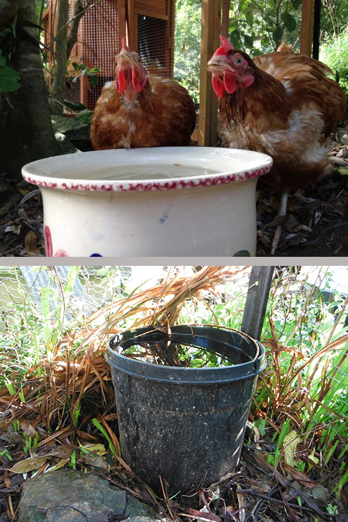 Chickens water supply.