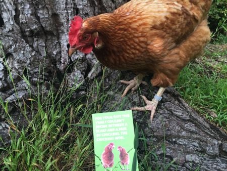 Chicken Ingrid on a tree root with the card that explains her present.