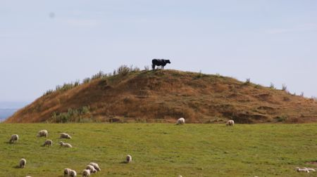 Cow on a hill with sheep in the foreground.