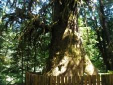 Harris Creek Giant Spruce - Base approximately 23km NE of Port Renfrew (about 5km past Lizard Lake)