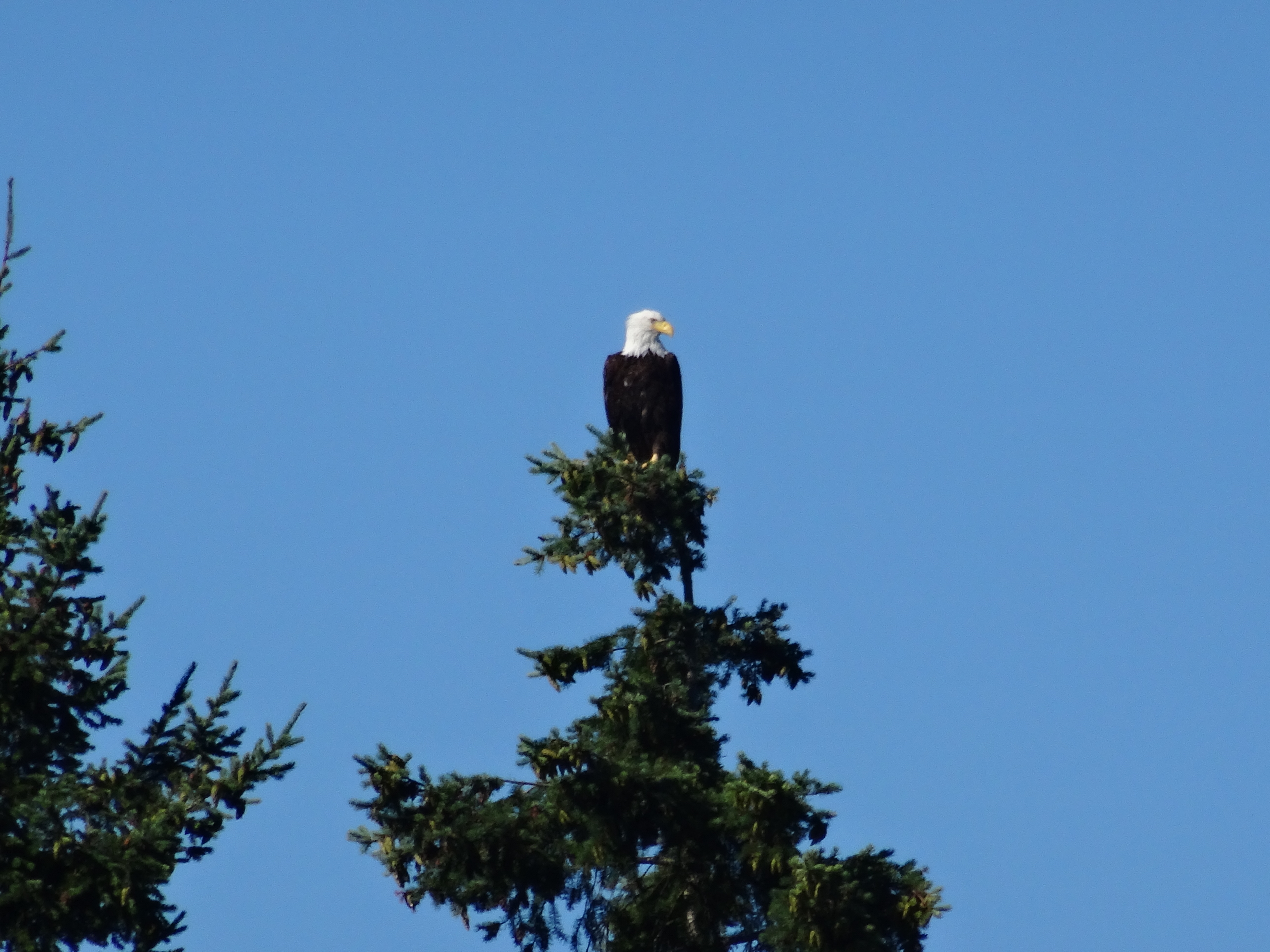 eagle on treetop