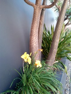 Daylily and Madagascar Palm