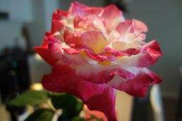 Peace Rose inside the house