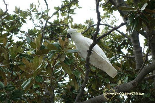 Cockatoo in tree
