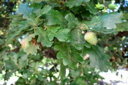 Acorn on Oak