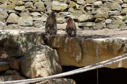 Macaque monkey times 2