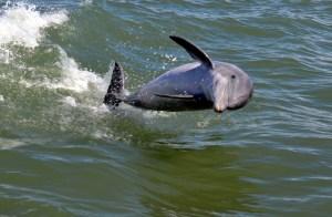 32 Curious Dolphin