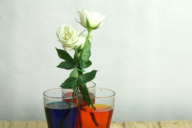 Salah satu langkah pembuatan Rainbow Rose. Selengkapnya Klik Ini