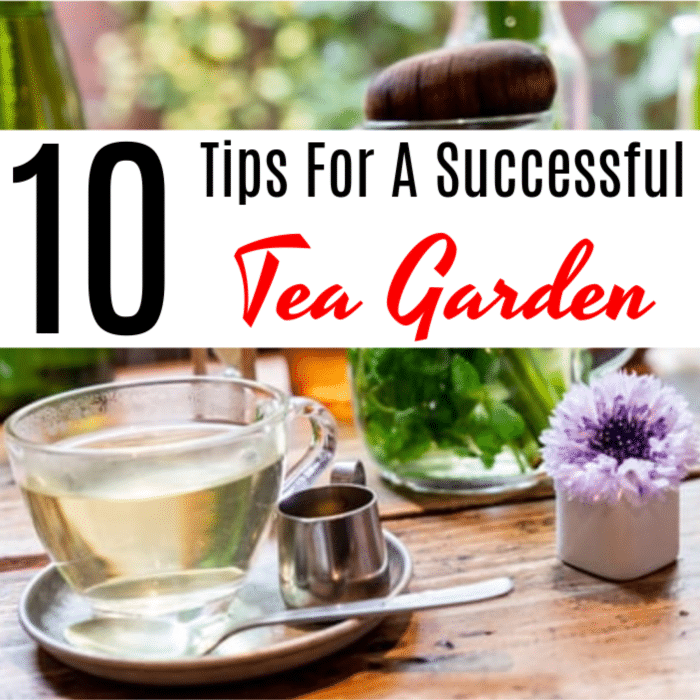 Having a garden is great, but make sure you grow what you love. Do you love tea? Why not grow a tea garden. Click through to find out how...