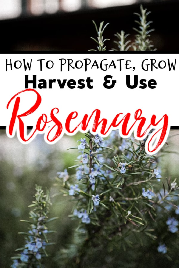 Rosemary:  How To Propagate, Grow, Harvest & Use