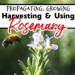 Rosemary:  Propagating, Growing, Harvesting, & Uses