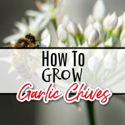 How To Grow Garlic Chives (1)