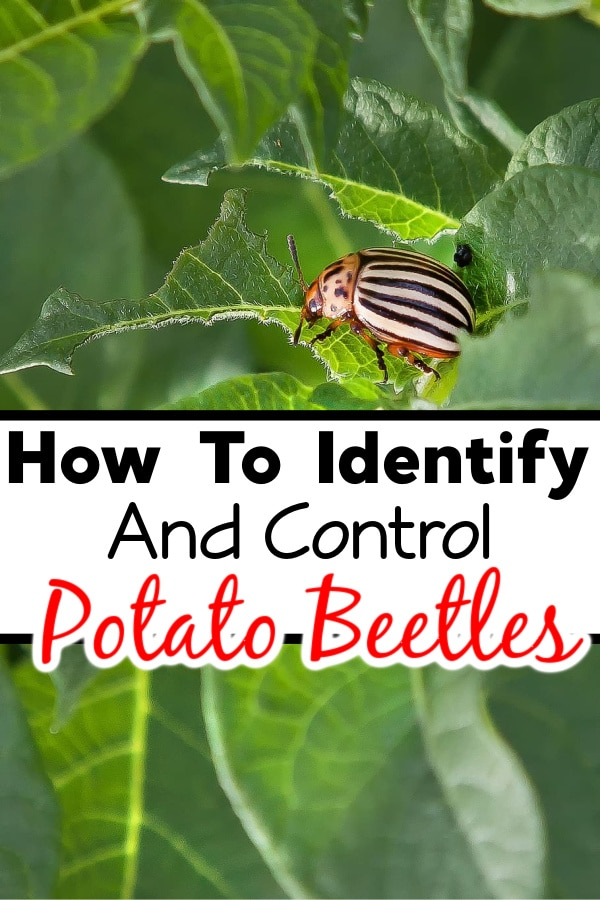 How To Identify And Control Potato Beetles