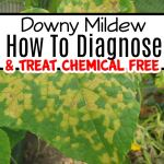 Downy Mildew Diagnosis &  Treatment