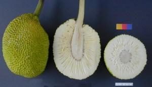 Breadfruit (Wikipedia)