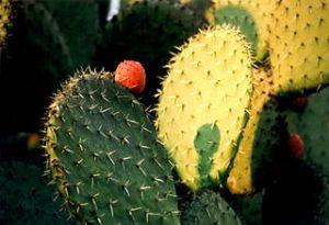 Nopal cactus (Wikipedia)