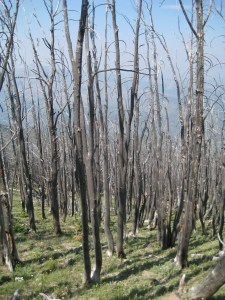 Close up of the pines.  On Mount Washburn, I didn't see much evidence that the forest was regenerating.