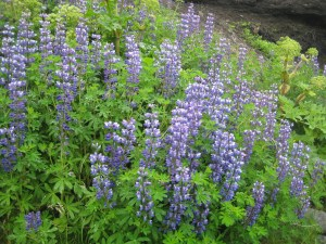 Lupines along the trail.