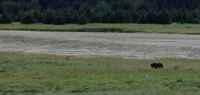 Now, a brown bear browsing along the Skagway River (and viewed at a safe distance).