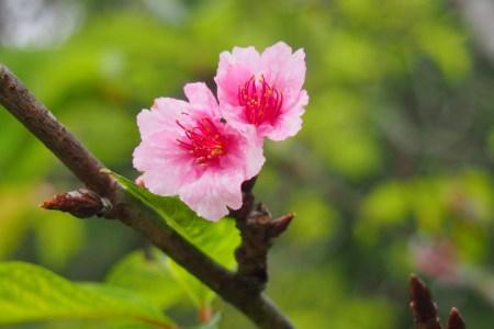 sakura di indonesia