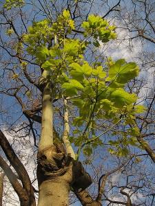 Un arbre tropical poc usual a Barcelona, del gènere Firmiana.