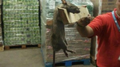 Photo of Quilmes: Ratas enormes invaden deposito