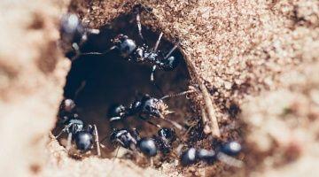 Se salvó de ser violada gracias a una colonia de hormigas
