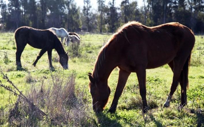 Protección animal: ya son 160 los caballos rescatados del maltrato y el abandono en La Plata