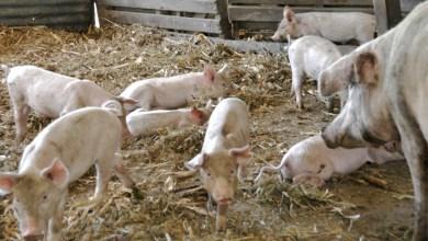 Photo of Charla debate sobre el modelo de producción porcina para proveer al mercado asiático