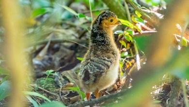 Photo of Después de 50 años de extinción, el Muitú vuelve a los bosques de Iberá