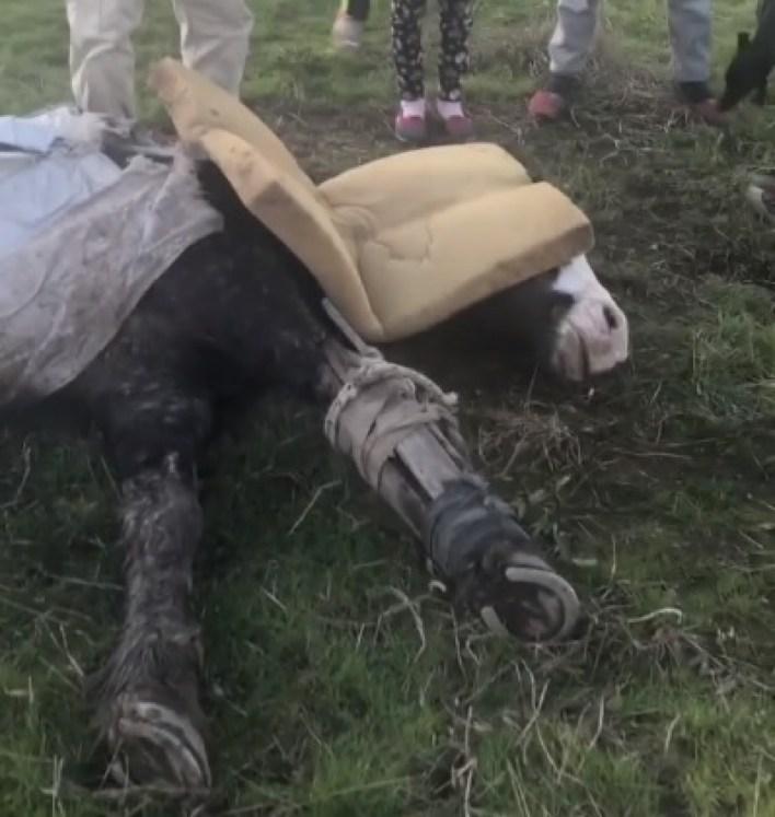 El triste final de Gato, un caballo rescatado de la penegrinación de lujan en 2018