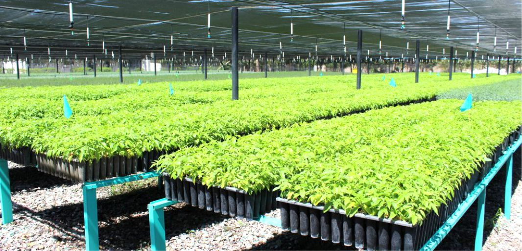 Vivero forestal militar de la paz produce 500 mil plantas for Viveros forestales conafor