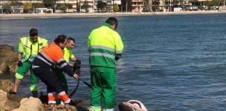 tiburón Diario de Alicante