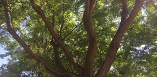 árboles Diario de Alicante