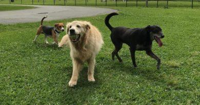 cães no parque, uma com a bolinha de tênis na boca