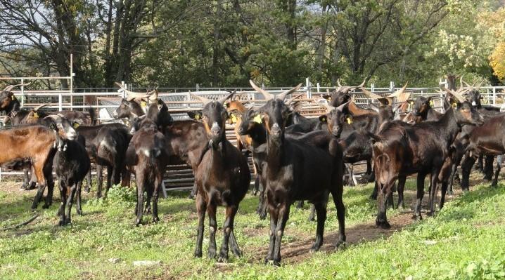 Cabra Verata - Foto de la web de la Asociación extremeña de criadores de caprino de Raza Verata