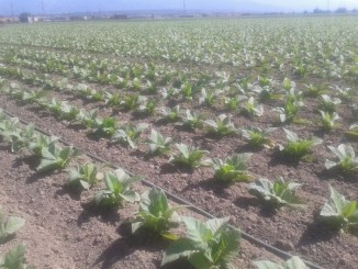 Plantación de Tabaco - Foto de Jose Antonio Muñoz Tovar