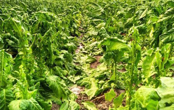 Las tormentas destrozan las cosechas de Tabaco en Jaraíz