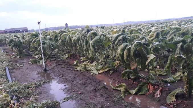 Plantación de tabaco arrasada por las tormentas