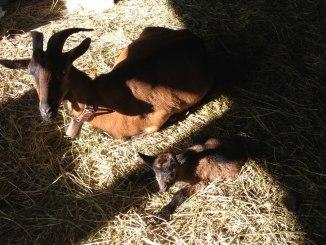 Cabras veratas