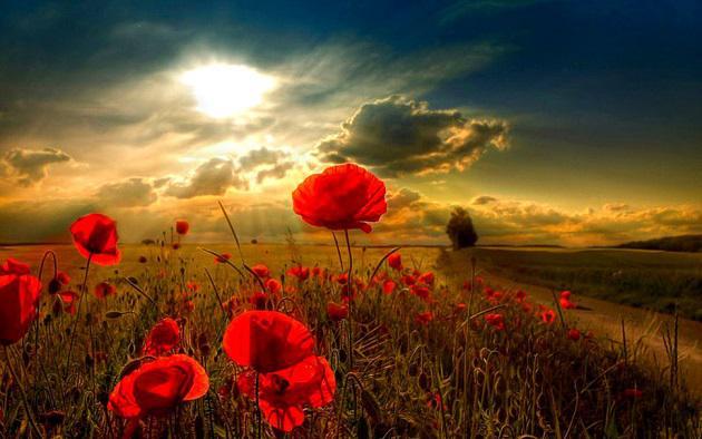 481036__field-of-poppies_p_630x394