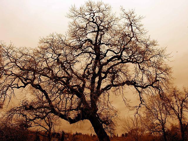 gnarled-old-oak_640x480