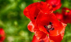 Reflexiones de doña Amapola, flor silvestre