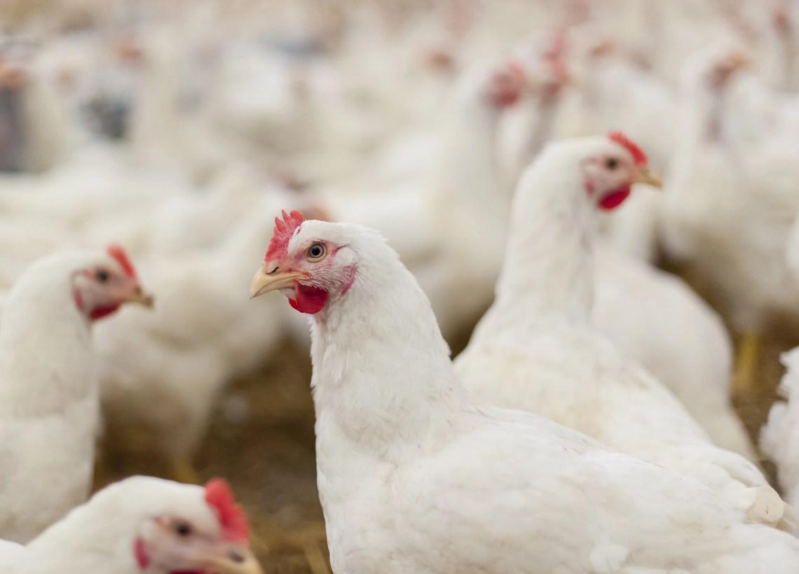 A produção de ovos de galinha também cresceu em Goiás, um total de 244,4 milhões de dúzias produzidas (Foto: Divulgação/Sistema CNA)