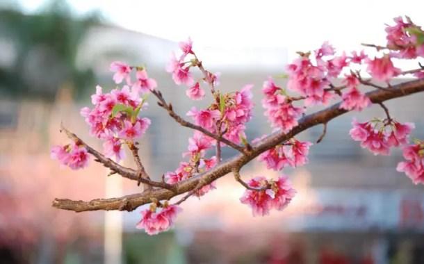 Spa Igaratá terá Festa da florada das cerejeiras
