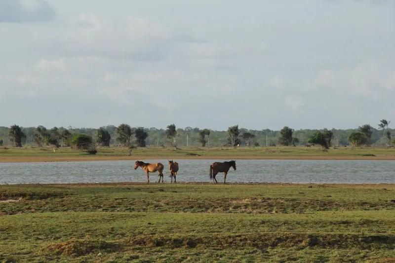 As fazendas do Marajó são ideais para a prática de cavalgadas (Foto: DT)
