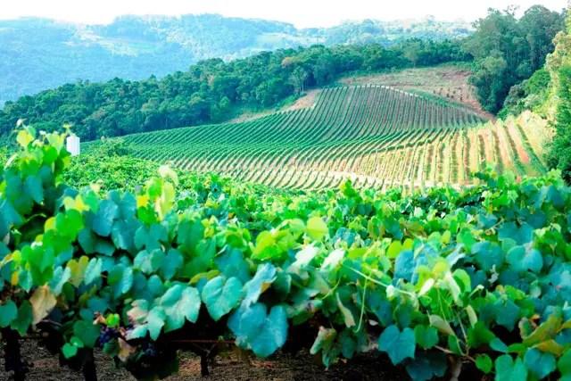 Fileiras e mais fileiras de pés de uva se espalham pelo horizonte como se fosse um exército de prontidão